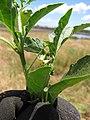 Starr-130617-5102-Solanum americanum-leaves and flower-Kealia Pond NWR-Maui (24585572893).jpg