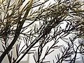Starr-131208-2709-Asparagus officinalis-voucher 130618 01 leaves-N Kihei Rd Kealia Pond-Maui (24932749700).jpg