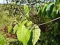 Starr-140222-0335-Banisteriopsis caapi-leaves-Haiku-Maui (25240510635).jpg