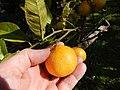 Starr-150112-3405-Citrus limonia-fruit-Hawea Pl Olinda-Maui (25264451155).jpg