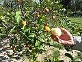 Starr-150326-1638-Citrus meyeri-fruit peeled-Citrus Grove Sand Island-Midway Atoll (24899834179).jpg