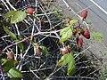 Starr 010423-0050 Rubus glaucus.jpg
