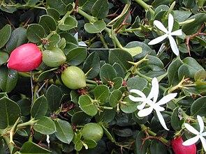 Natalpflaume (Carissa macrocarpa) mit Blüten und Früchten.