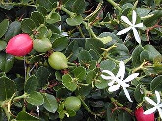 Carissa - Natal Plum (C. macrocarpa)
