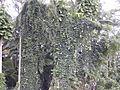 Starr 011205-0039 Thunbergia grandiflora.jpg