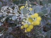 Starr 020911-0004 Acacia podalyriifolia.jpg