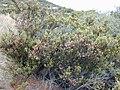 Starr 020911-0021 Leptecophylla tameiameiae.jpg