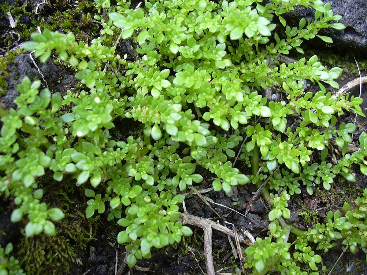 pilea microphylla wikipedia