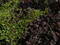 Starr 040513-0006 Canavalia pubescens.jpg