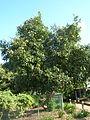 Starr 061106-9598 Hibiscus tiliaceus.jpg