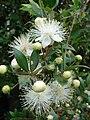 Starr 070621-7466 Myrtus communis.jpg