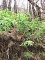 Starr 070908-9203 Rubus hawaiensis.jpg