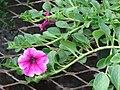 Starr 080103-1315 Petunia x hybrida.jpg