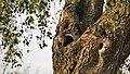Steenuiltjes voor nest.jpg