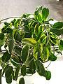 Stephanotis floribunda variegata 31.JPG