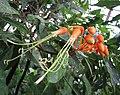Steriphoma paradoxum -比利時 Ghent University Botanical Garden, Belgium- (9244324173).jpg