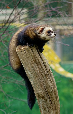 European polecat - Welsh polecat (M. p. anglia) at the British Wildlife Centre, Newchapel, Surrey