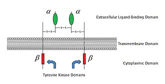 Cell surface receptor - Sketch of an enzyme-linked receptor structure (structure of IGF-1R) (click to enlarge)