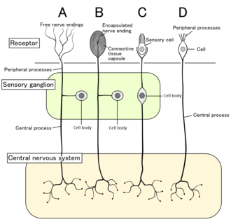 Sensory neuron - Four types of sensory neuron