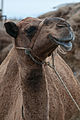 Studfarm in Turkmenistan - Flickr - Kerri-Jo (98).jpg
