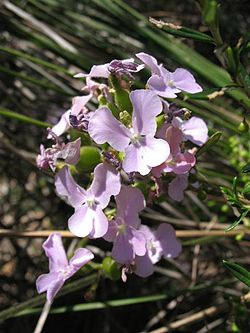 Stylidium affine flower1.jpg
