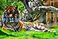 Sumatran tiger (Panthera tigris sumatrae) (5532543792).jpg