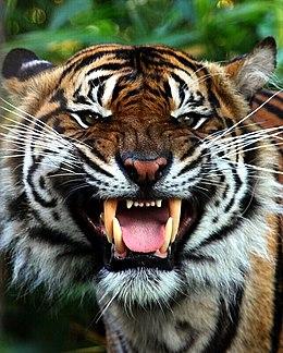 Sumatran tiger at Chester Zoo