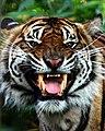 Sumatran tiger Chester Zoo.jpg