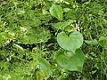 Sumpfcalle (Calla palustris) 02.jpg
