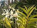 Suvarnabhumi Orchids Farm IMG 20160322 080841 (27170410110).jpg