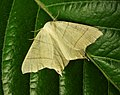 Swallow-tailed Moth. Ourapteryx sambucaria (38644411652).jpg