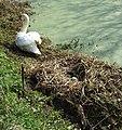 Swans Nest - geograph.org.uk - 384526.jpg