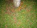 Syagrus romanzoffiana in Park Ceret São Paulo 003.jpg