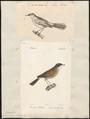 Sylvia conspicillata - 1700-1880 - Print - Iconographia Zoologica - Special Collections University of Amsterdam - UBA01 IZ16200147.tif