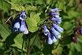Symphytum-caucasicum-flowers.jpg