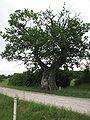 Tärkma offertory oak -tree.JPG