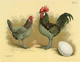 Image illustrative de l'article Andalouse (poule)
