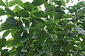 Tabernaemontana orientalis 11zz.jpg
