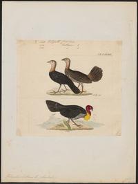 Talegallus cuvieri - 1820-1860 - Print - Iconographia Zoologica - Special Collections University of Amsterdam - UBA01 IZ16900141.tif