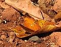 Tamil Yeoman Cirrochroa thais by Dr. Raju Kasambe DSCN4841 (12).jpg