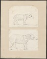 Tapirus americanus - 1700-1880 - Print - Iconographia Zoologica - Special Collections University of Amsterdam - UBA01 IZ22000267.tif