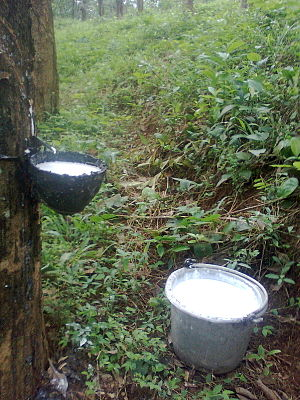 Hevea brasiliensis - Latex being collected from an incised rubber tree and a bucket of collected latex