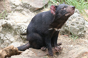 A Tasmanian devil with a horizontal white stripe below its neck is sitting on some rocks and pointing its neck 45 degrees above horizontal.