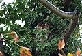 Tawny Owl Coate Water.jpg