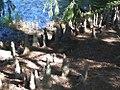 Taxodium distichum Pendens 3zz.jpg