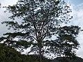 Taxus baccata, Chinese wild tree.jpg
