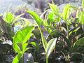 Tea - തേയില 06.JPG