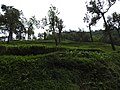 Tea plantation-2-manjolai-tirunelveli-India.jpg