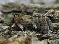 Tethea ocularis - Figure of eighty - Совковидка буроватая (40854045021).jpg