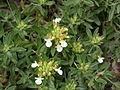 Teucrium montanum flowers1.JPG